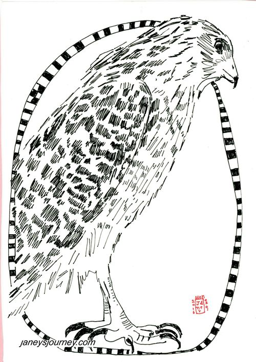 Red shouldered hawk158