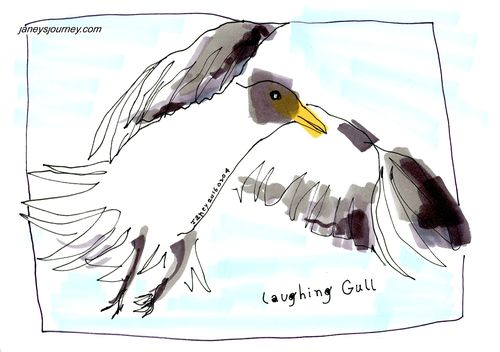 Laughing gull164