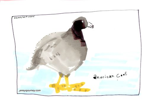 American coot167