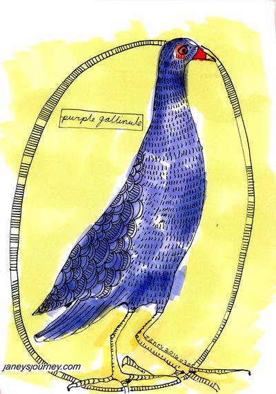 Purple gallinule176