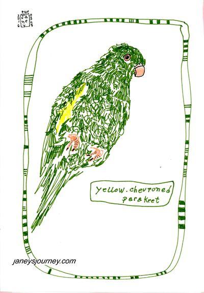 Yellow chev parakeet177