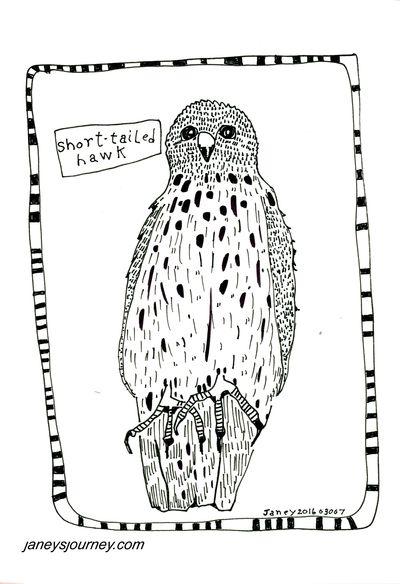 Short tailed hawk178