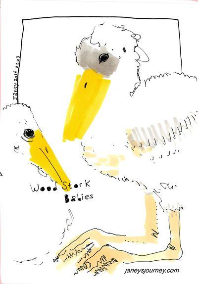 Wood stork babies163